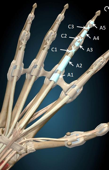 rock climbing tendons in the human hand