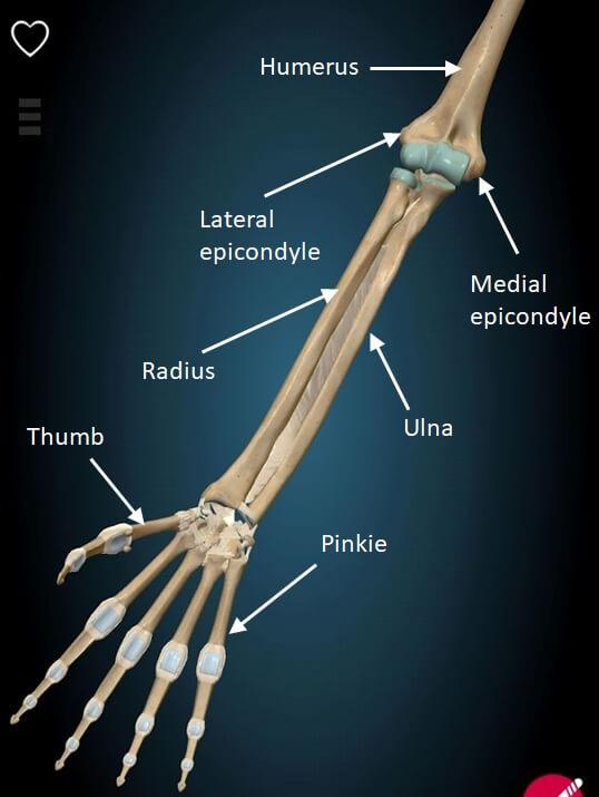 Elbow joint bone anatomy