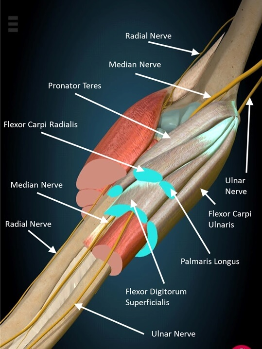 Forearm muscle anatomy for climbers
