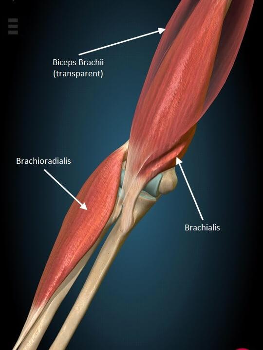 The three elbow flexor muscles. Biceps, brachialis, brachioradialis.